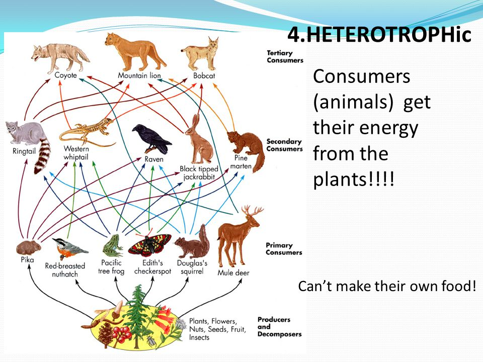4.HETEROTROPHic Consumers (animals) get their energy from the plants!!!.