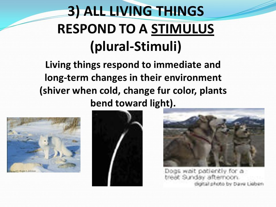 3) ALL LIVING THINGS RESPOND TO A STIMULUS (plural-Stimuli)