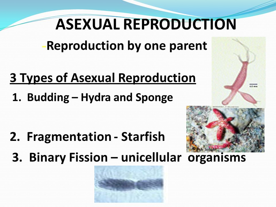 ASEXUAL REPRODUCTION -Reproduction by one parent
