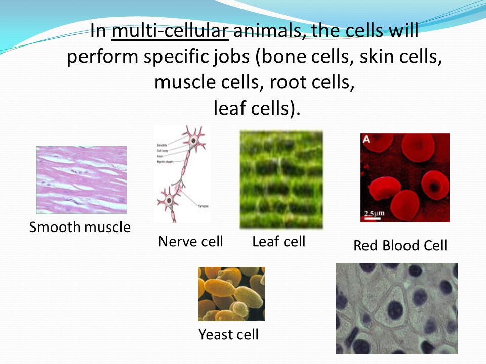 In multi-cellular animals, the cells will perform specific jobs (bone cells, skin cells, muscle cells, root cells,