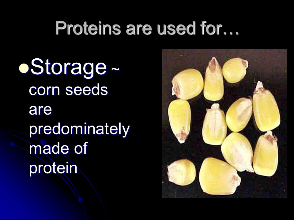 Storage ~ corn seeds are predominately made of protein