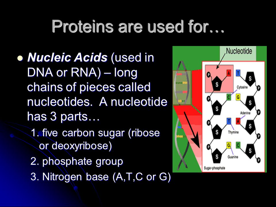 Proteins are used for… Nucleic Acids (used in DNA or RNA) – long chains of pieces called nucleotides. A nucleotide has 3 parts…