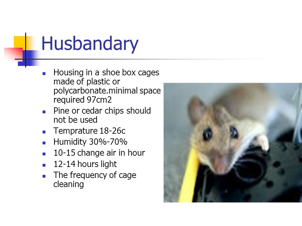 Husbandary Housing in a shoe box cages made of plastic or polycarbonate.minimal space required 97cm2.