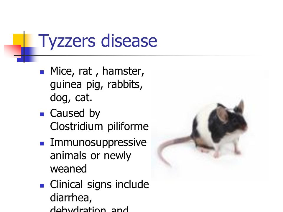 Tyzzers disease Mice, rat , hamster, guinea pig, rabbits, dog, cat.