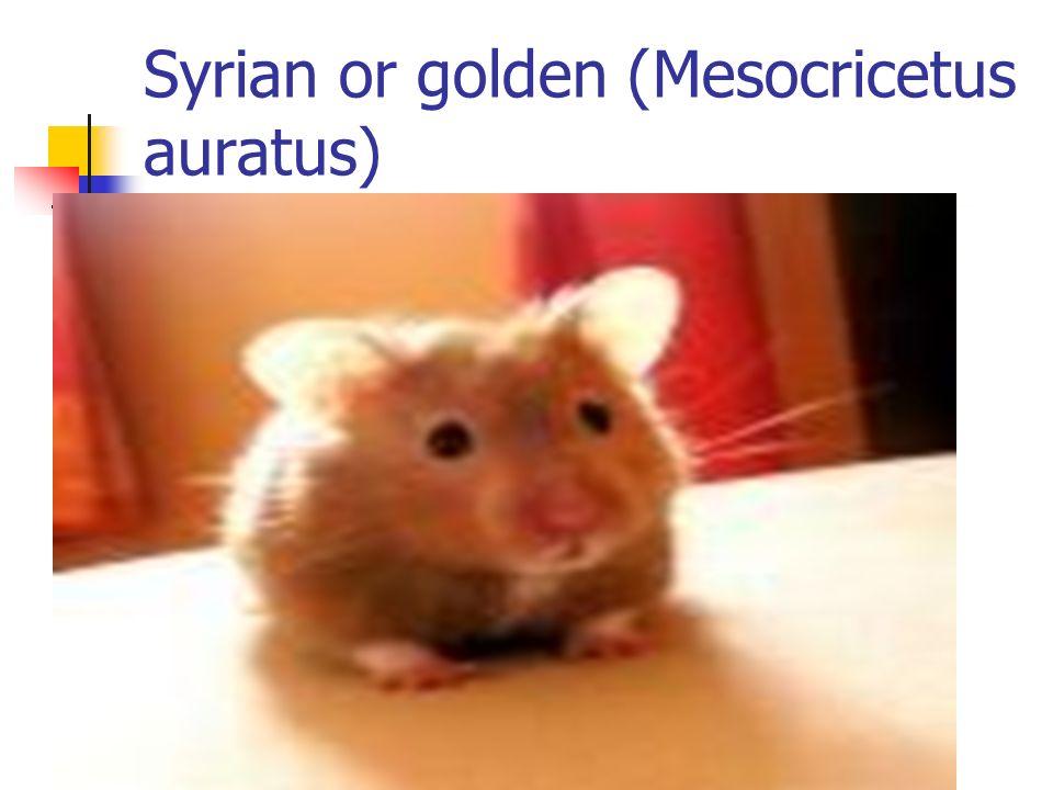 Syrian or golden (Mesocricetus auratus)