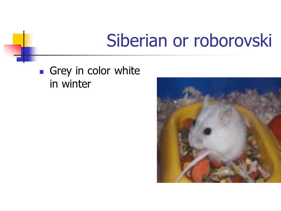 Siberian or roborovski