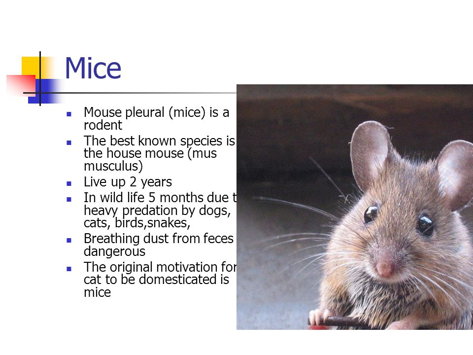 Mice Mouse pleural (mice) is a rodent