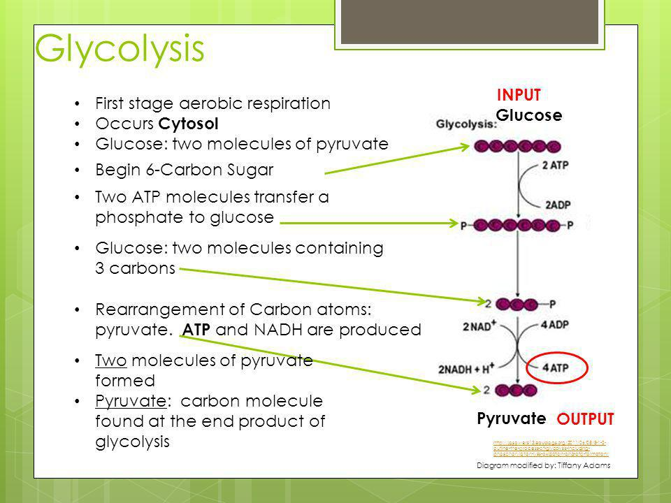 Glycolysis INPUT First stage aerobic respiration Occurs Cytosol