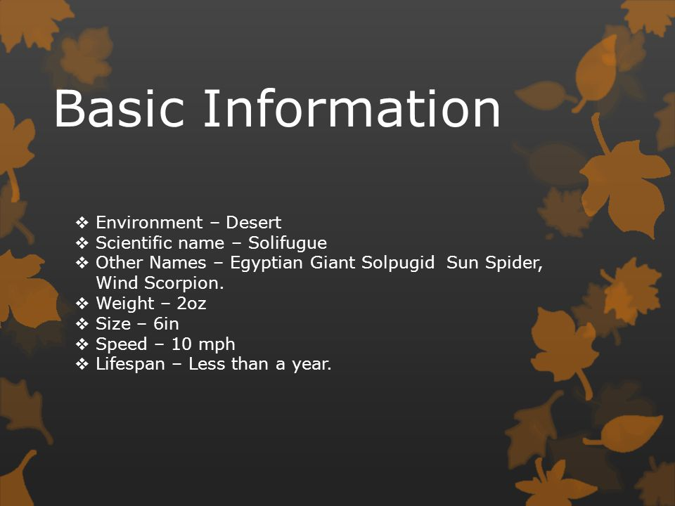Basic Information Environment – Desert Scientific name – Solifugue