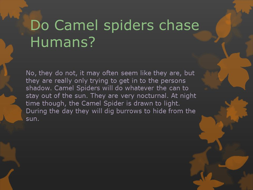 Do Camel spiders chase Humans