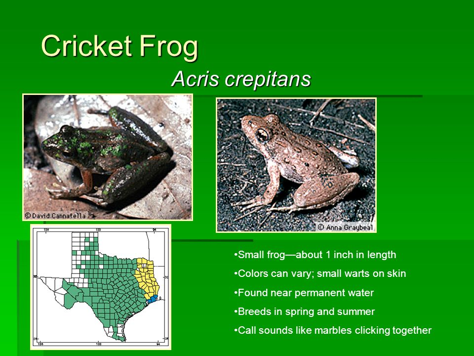 Cricket Frog Acris crepitans Small frog—about 1 inch in length