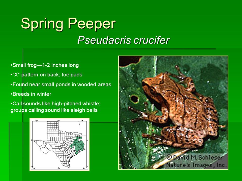 Spring Peeper Pseudacris crucifer Small frog—1-2 inches long