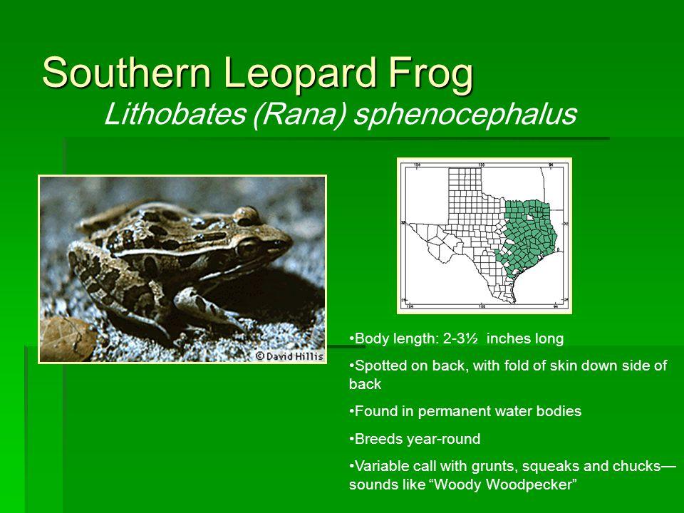 Lithobates (Rana) sphenocephalus