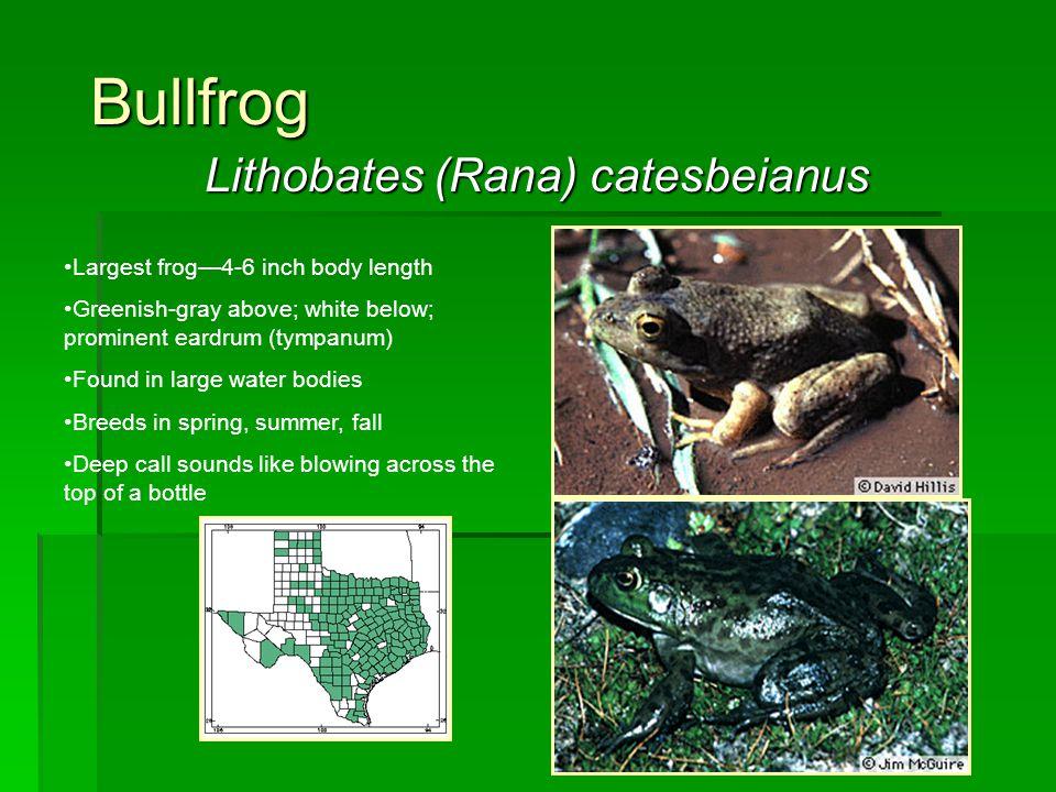 Lithobates (Rana) catesbeianus