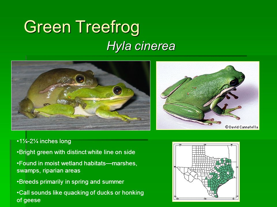 Green Treefrog Hyla cinerea 1¼-2¼ inches long