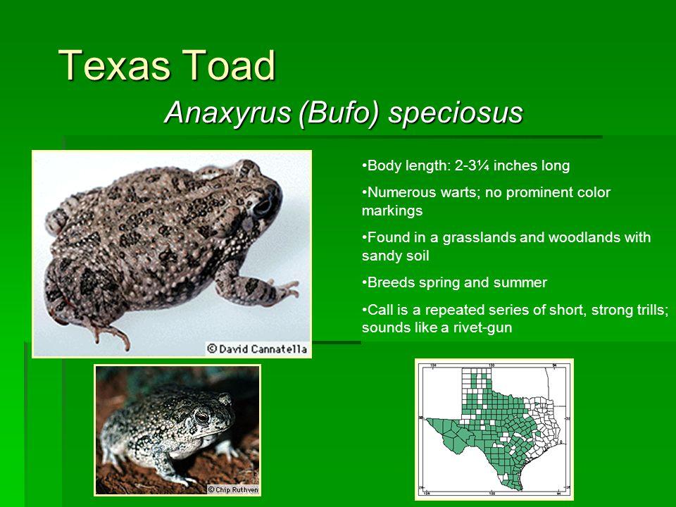 Anaxyrus (Bufo) speciosus