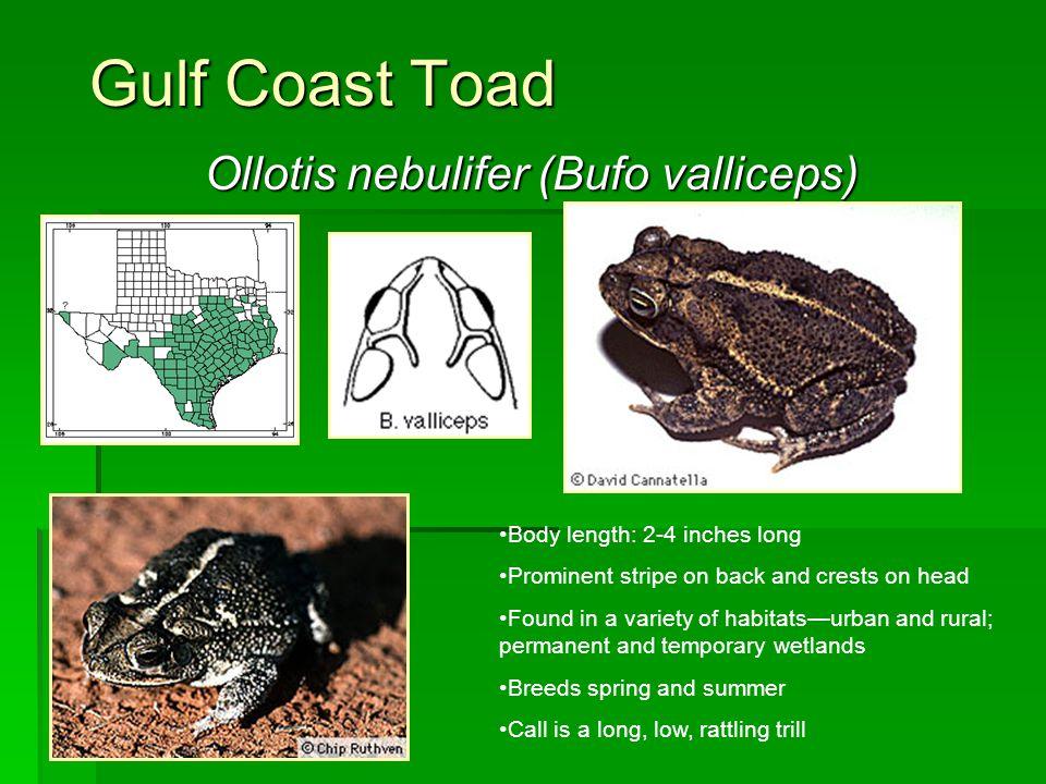 Ollotis nebulifer (Bufo valliceps)