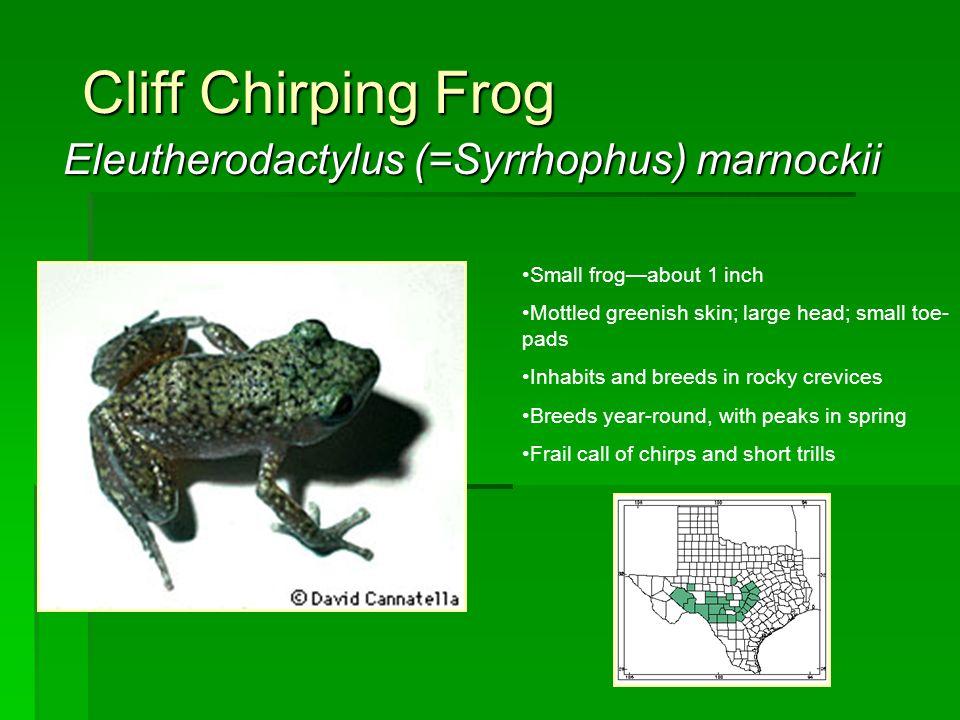 Eleutherodactylus (=Syrrhophus) marnockii