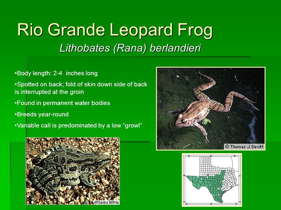 Rio Grande Leopard Frog