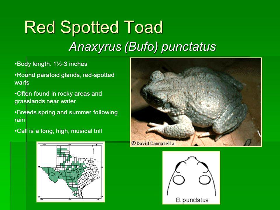 Anaxyrus (Bufo) punctatus