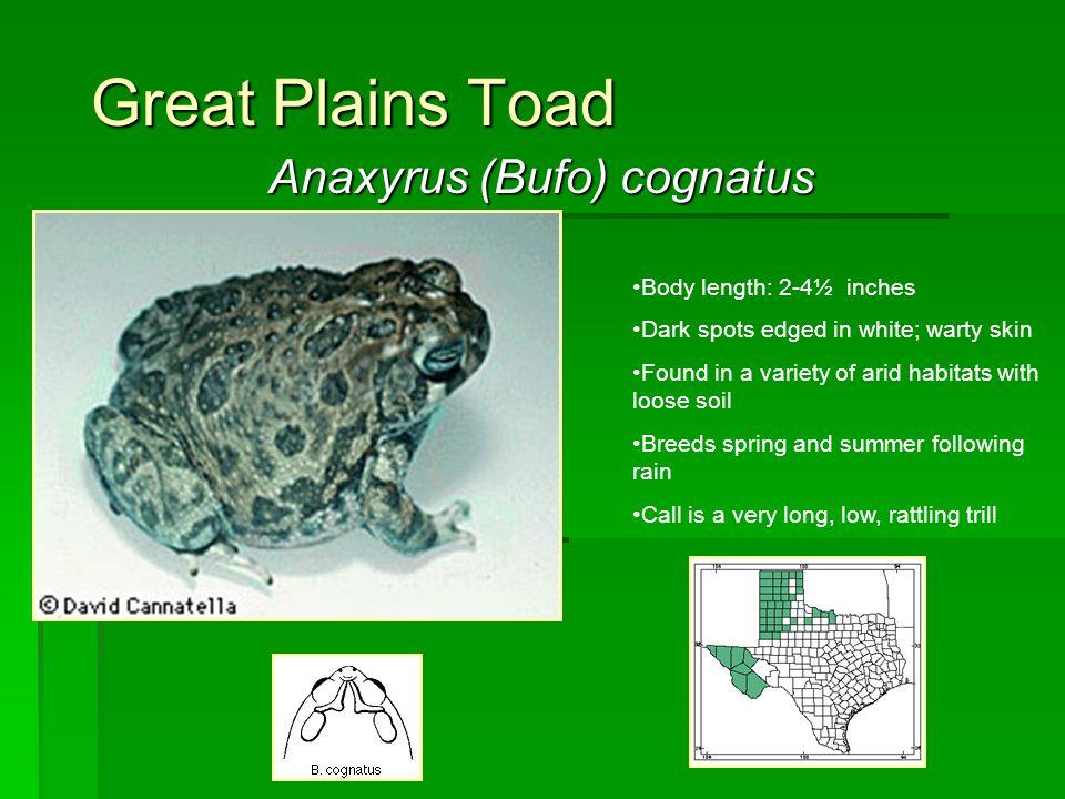Anaxyrus (Bufo) cognatus