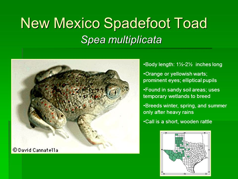 New Mexico Spadefoot Toad