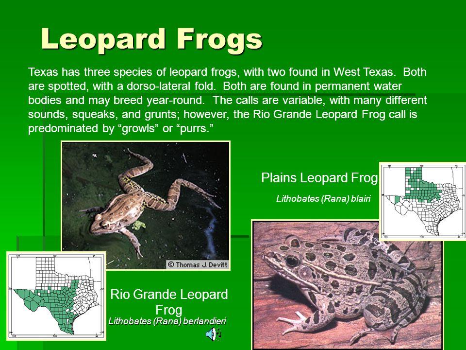 Leopard Frogs Plains Leopard Frog Rio Grande Leopard Frog