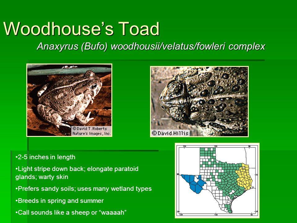 Anaxyrus (Bufo) woodhousii/velatus/fowleri complex