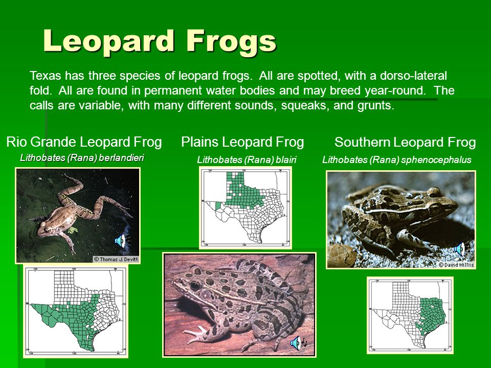 Leopard Frogs Rio Grande Leopard Frog Plains Leopard Frog