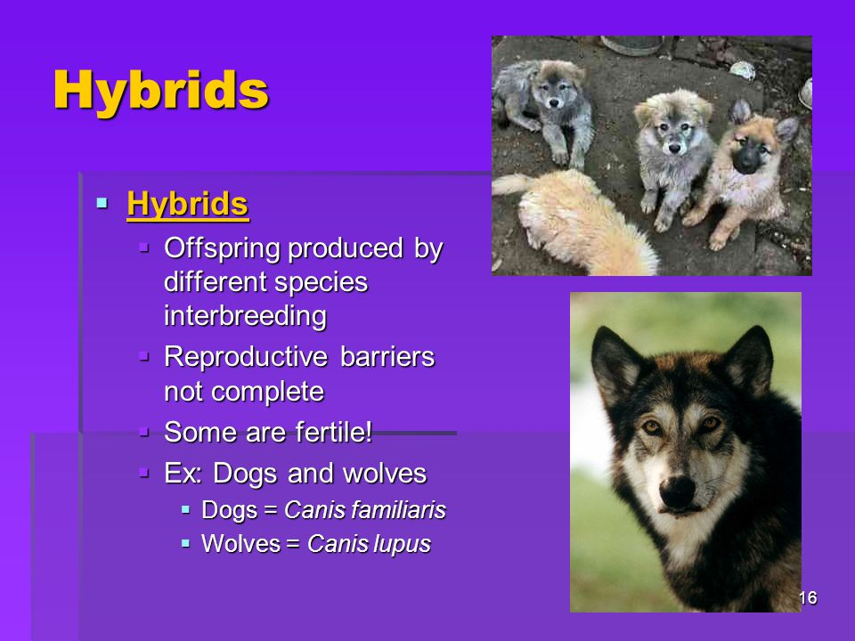 Hybrids Hybrids Offspring produced by different species interbreeding