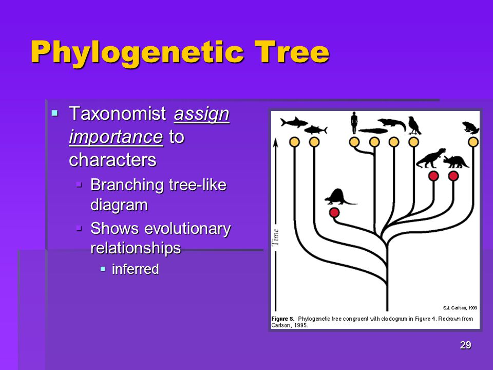 Phylogenetic Tree Taxonomist assign importance to characters