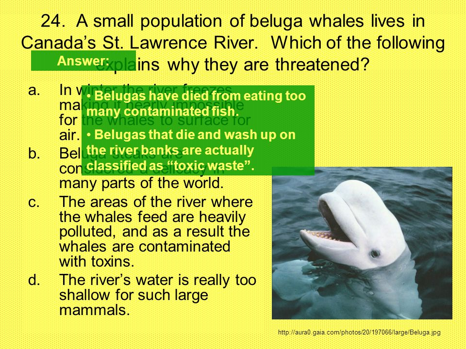 24. A small population of beluga whales lives in Canada's St