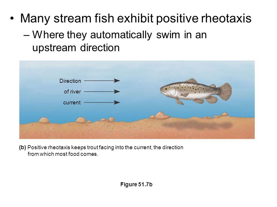 Many stream fish exhibit positive rheotaxis
