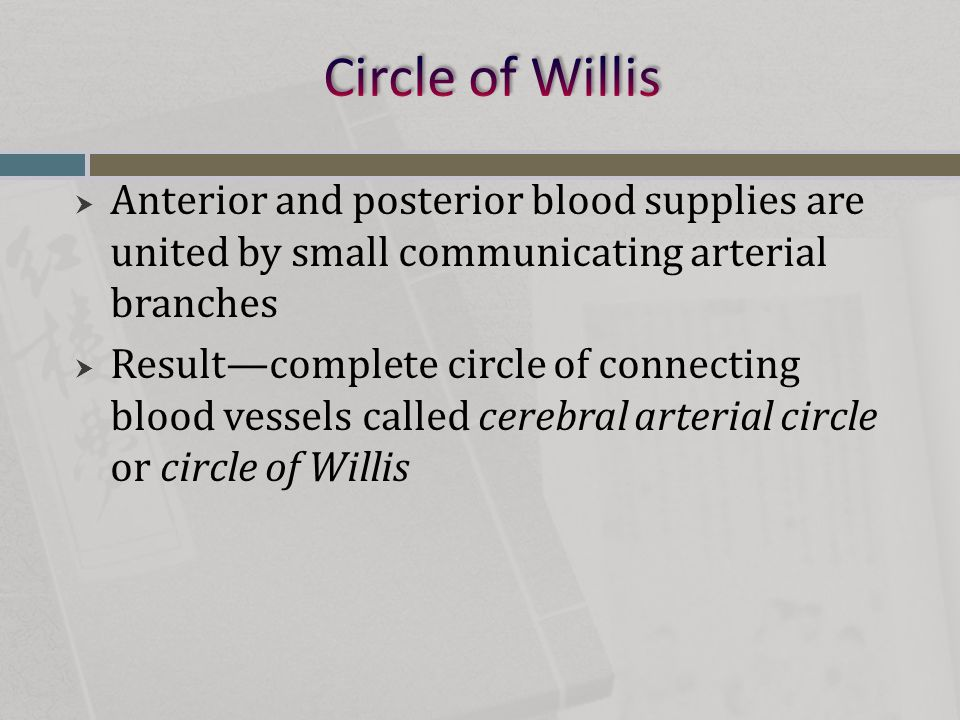 Circle of Willis Anterior and posterior blood supplies are united by small communicating arterial branches.