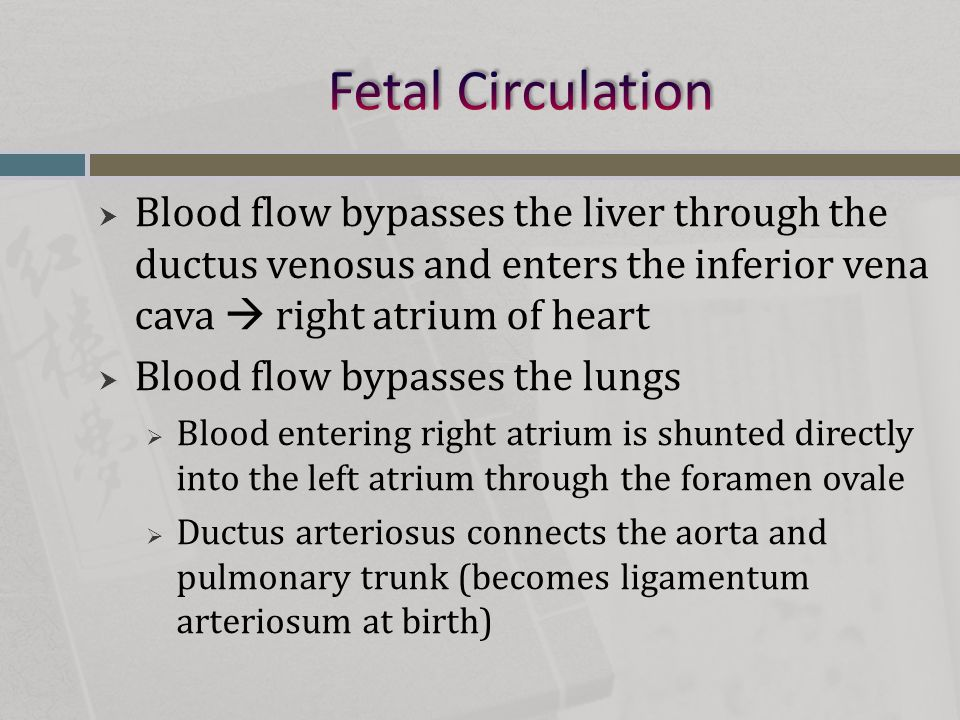 Fetal Circulation Blood flow bypasses the liver through the ductus venosus and enters the inferior vena cava  right atrium of heart.