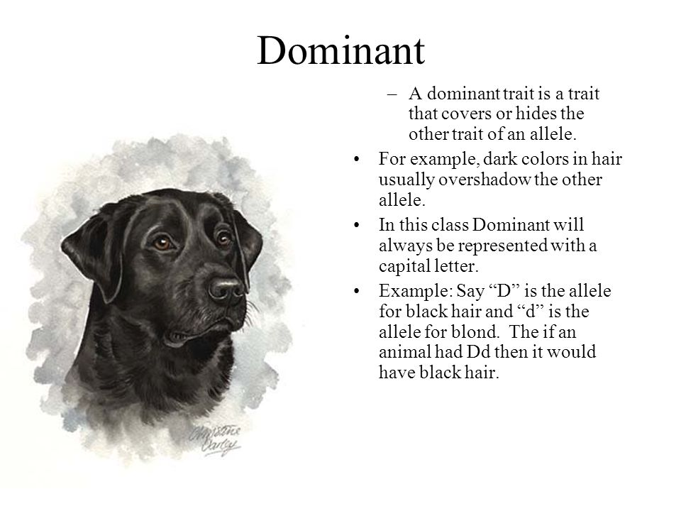 Dominant A dominant trait is a trait that covers or hides the other trait of an allele.