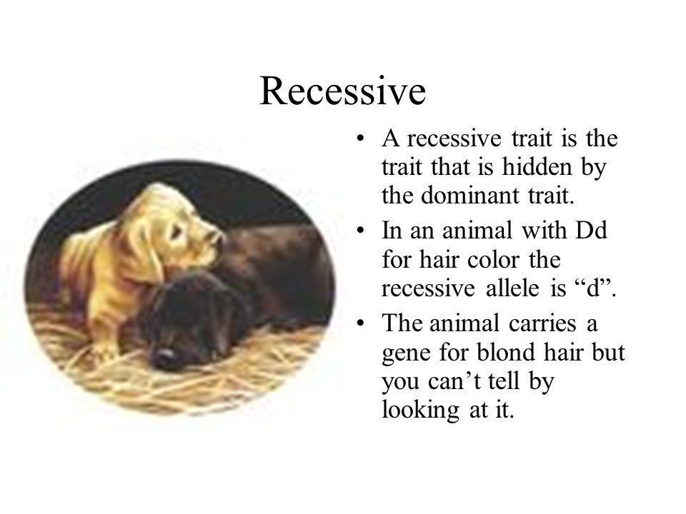 Recessive A recessive trait is the trait that is hidden by the dominant trait. In an animal with Dd for hair color the recessive allele is d .