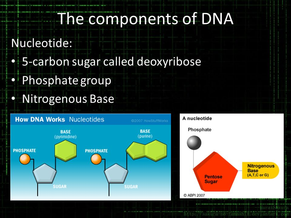 The components of DNA Nucleotide: 5-carbon sugar called deoxyribose