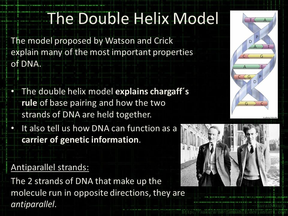 The Double Helix Model The model proposed by Watson and Crick explain many of the most important properties of DNA.