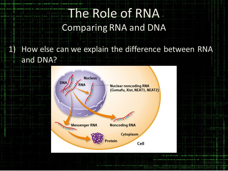 The Role of RNA Comparing RNA and DNA