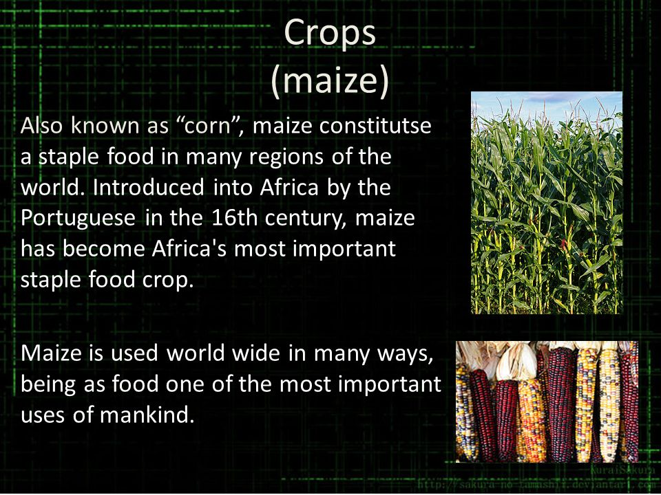 Crops (maize)