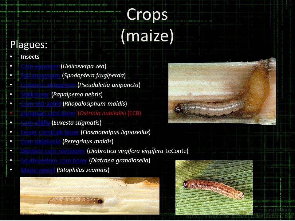 Crops (maize) Plagues: Insects Corn earworm (Helicoverpa zea)