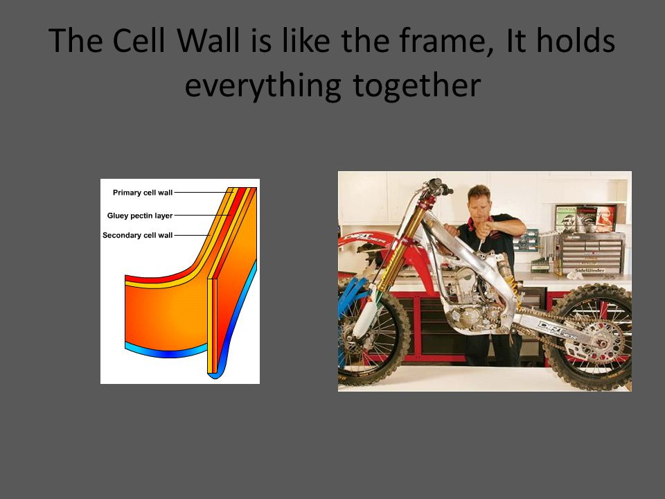 The Cell Wall is like the frame, It holds everything together