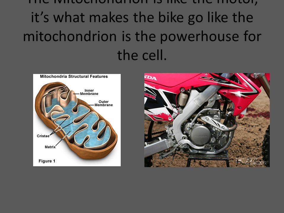 The Mitochondrion is like the motor, it's what makes the bike go like the mitochondrion is the powerhouse for the cell.