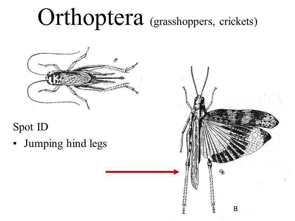 Orthoptera (grasshoppers, crickets)