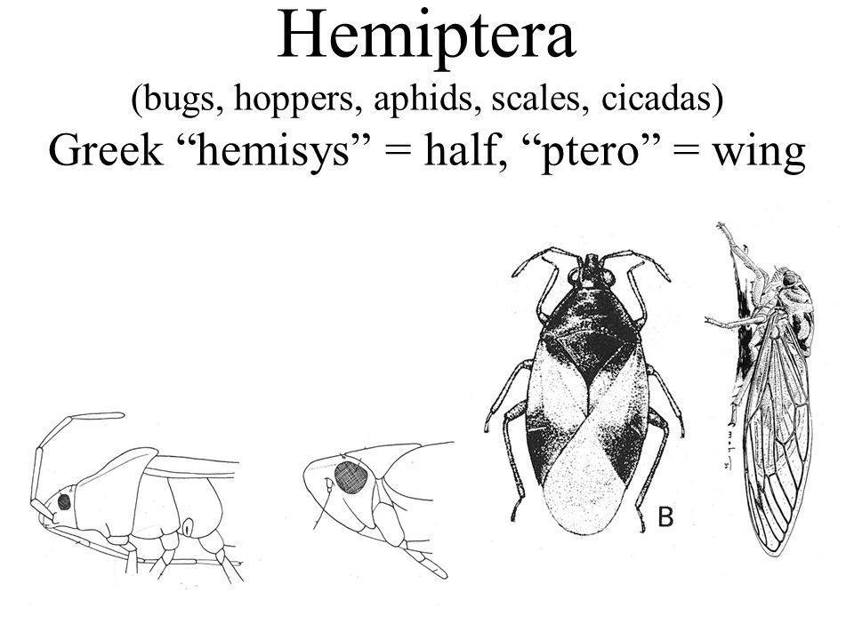 Hemiptera (bugs, hoppers, aphids, scales, cicadas) Greek hemisys = half, ptero = wing