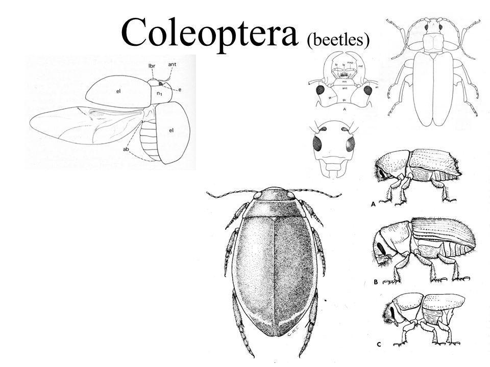 Coleoptera (beetles)