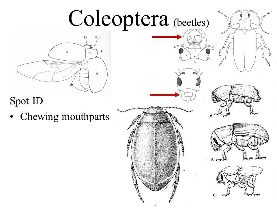 Coleoptera (beetles) Spot ID Chewing mouthparts