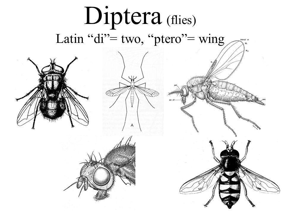 Diptera (flies) Latin di = two, ptero = wing