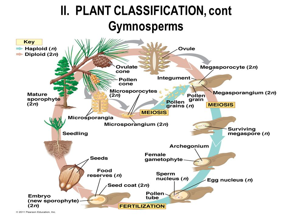 II. PLANT CLASSIFICATION, cont Gymnosperms